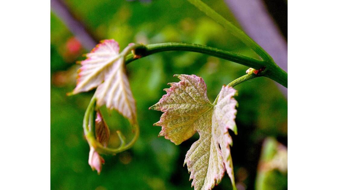 PLUMO (feuille de vigne jeune)