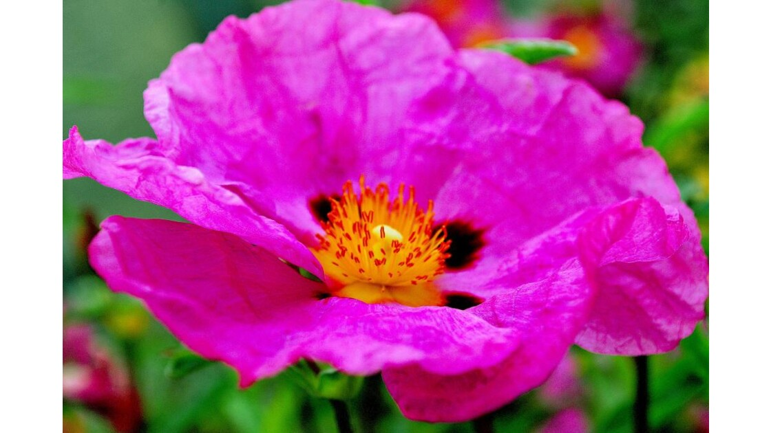 CHANTAL 1( fleur de  Cyste )