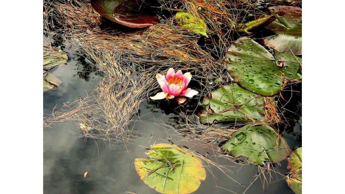 RAYMONDE 1(fleur de Nénuphar)