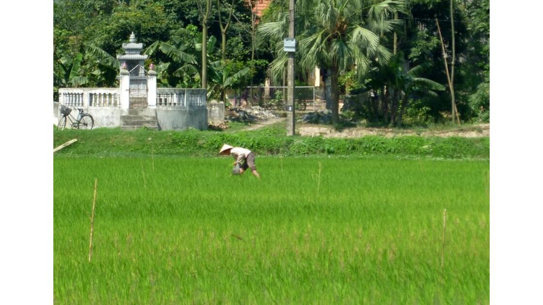 Vietnam-Dans les rizières