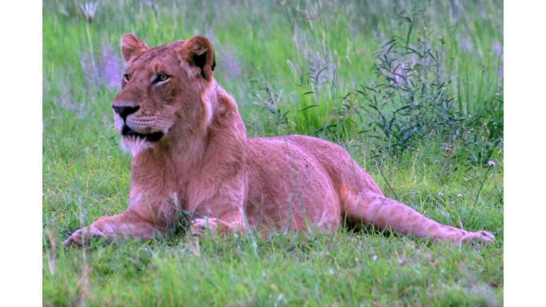 Ouganda: Jeune lion Parc Queen Elizabeth