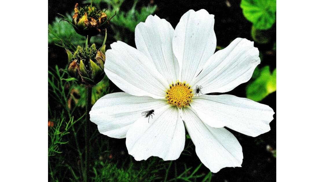 LEMINEUR.Henri (fleur de Cosmos)