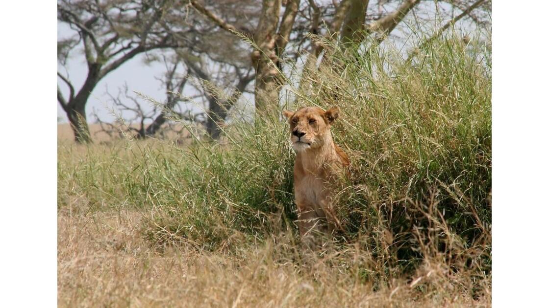Lionne dans le Serengeti