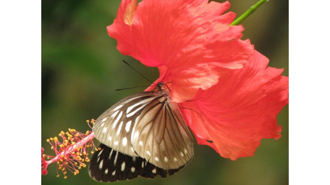 papillon sur une fleur d'hibiscus