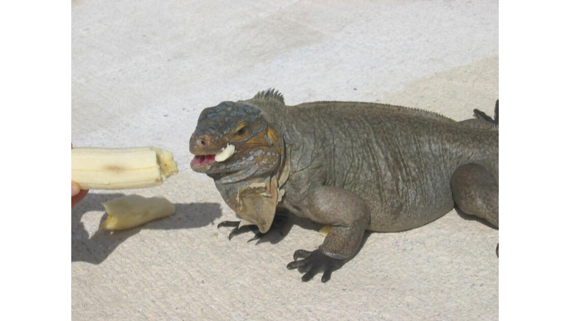 Oh ! Un iguane a l'entrée de ma chambre