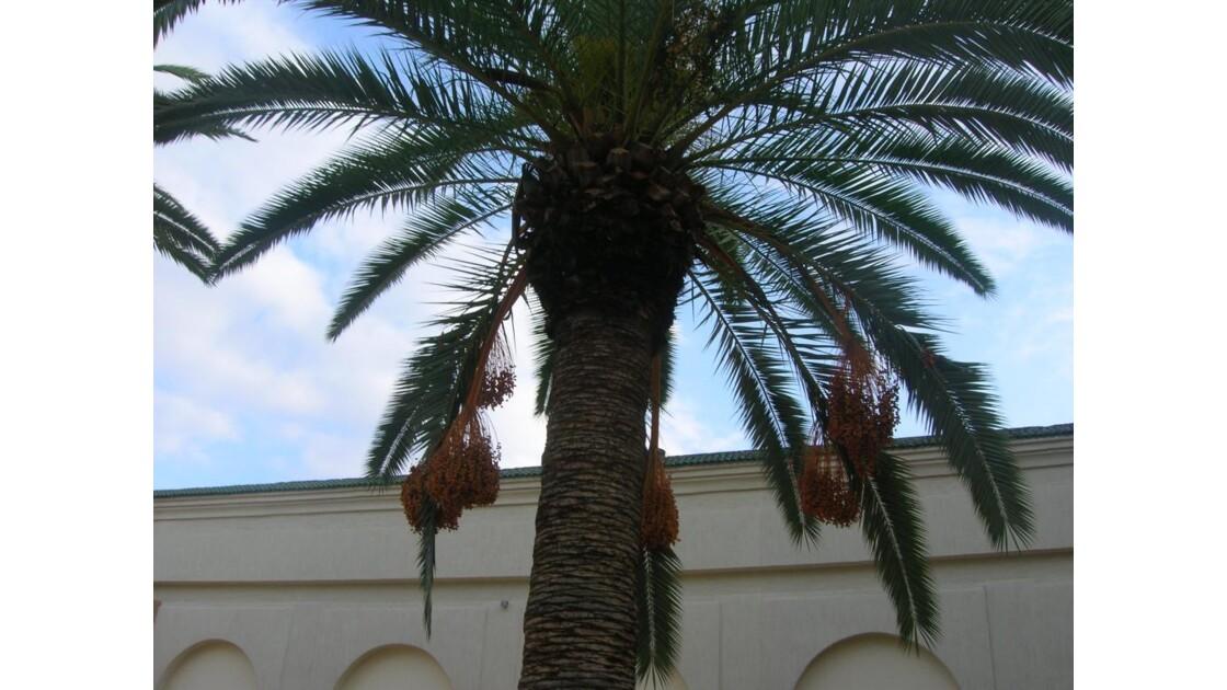 Maroc palmier dattier