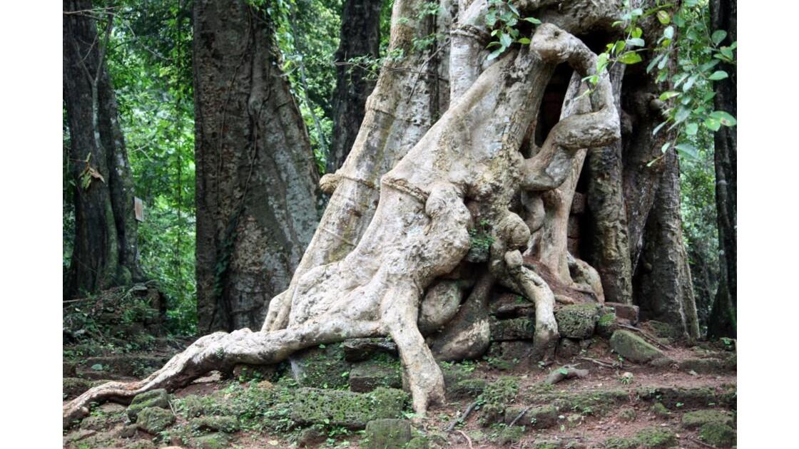 CAMBODGE___Angkor___Arbre___2010_09_25.