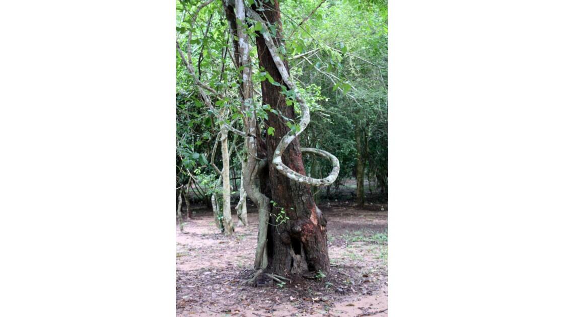 CAMBODGE___Angkor___Arbre_femme__2010_0
