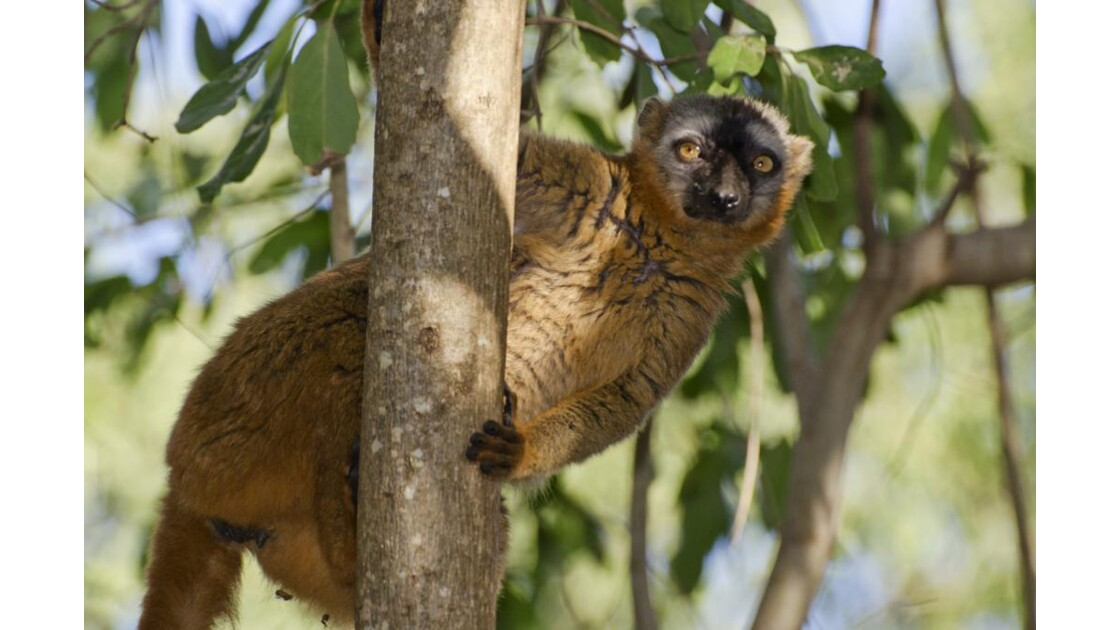Lemur Fauve