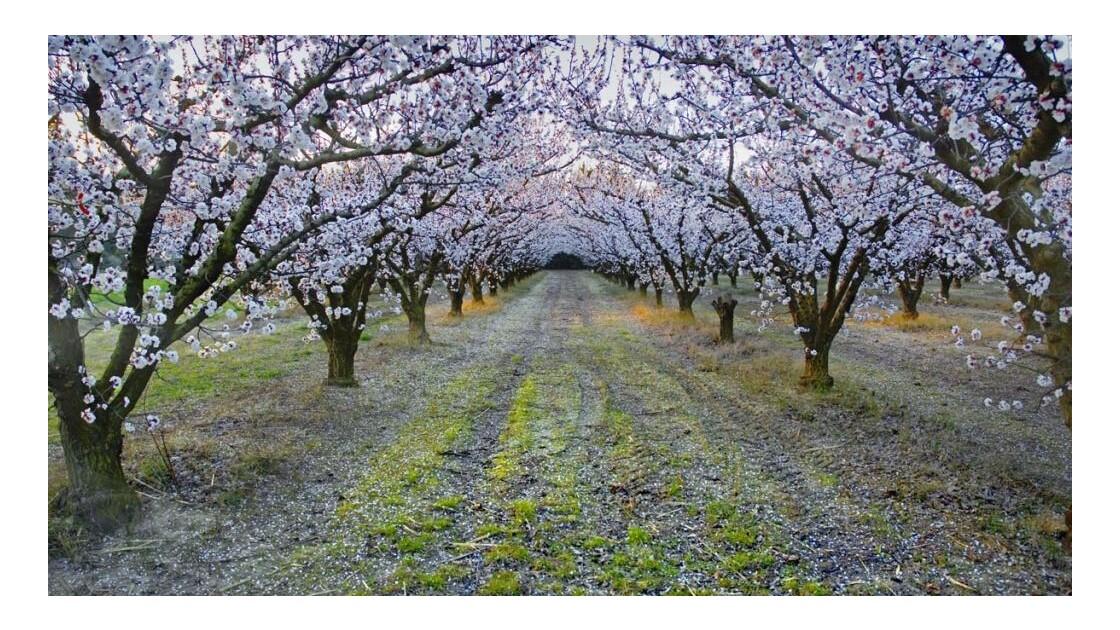 Provence. Abricotiers en fleurs