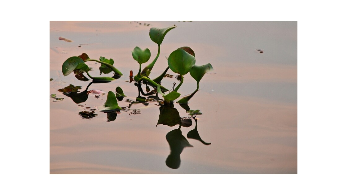 jacinthe d'eau au petit matin