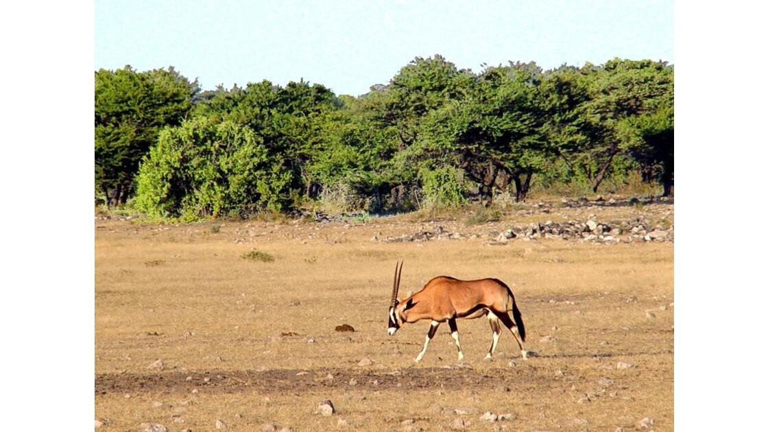 Parc national d'Etosha :Oryx 3