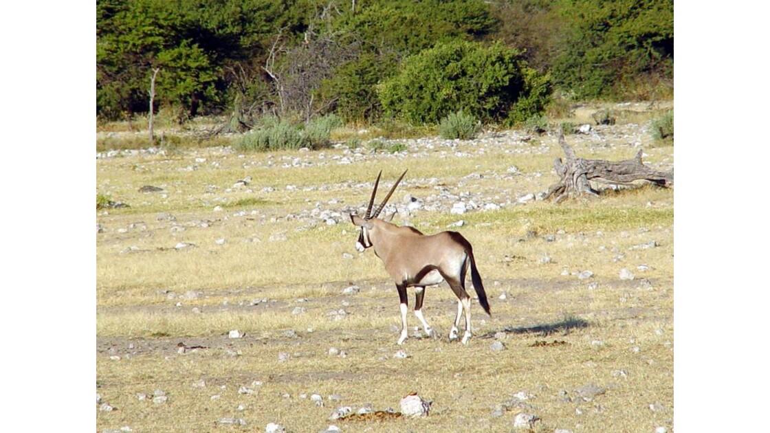 Parc national d'Etosha Oryx 2