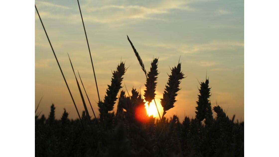 soleil couchant 3 (blés)