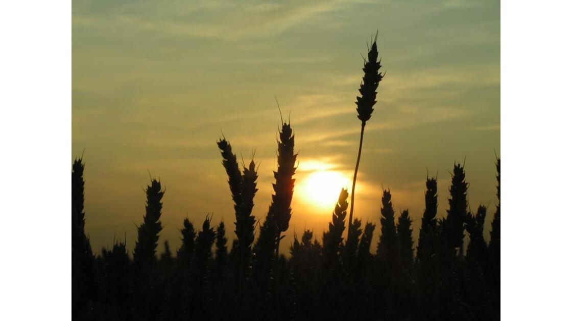 soleil couchant3 (blés)