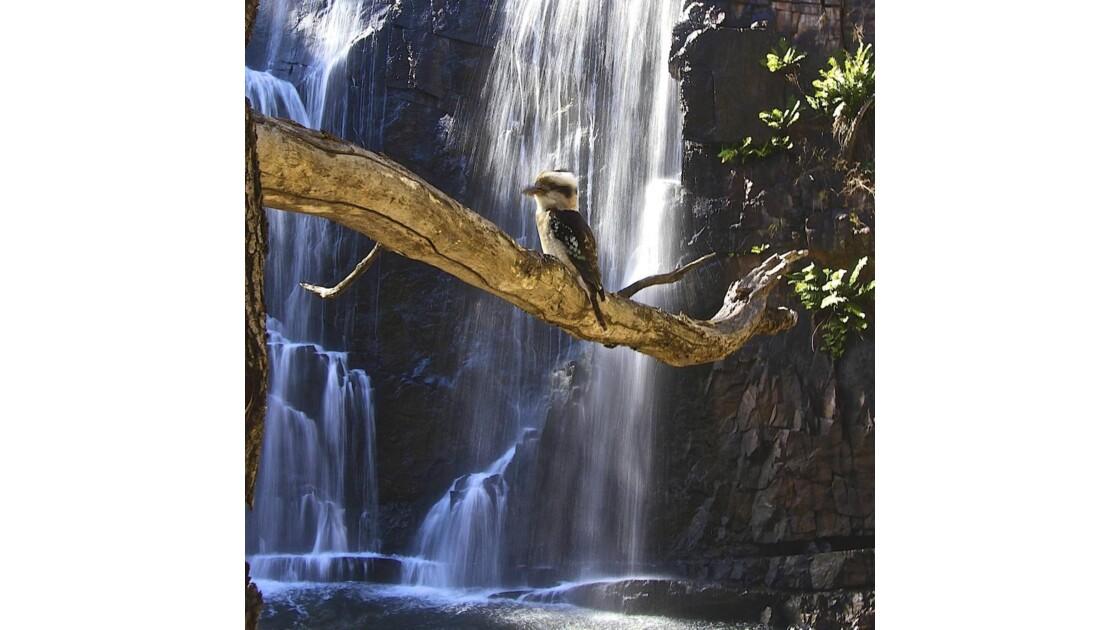 Maitre Kookaburra sur son arbre....jpg