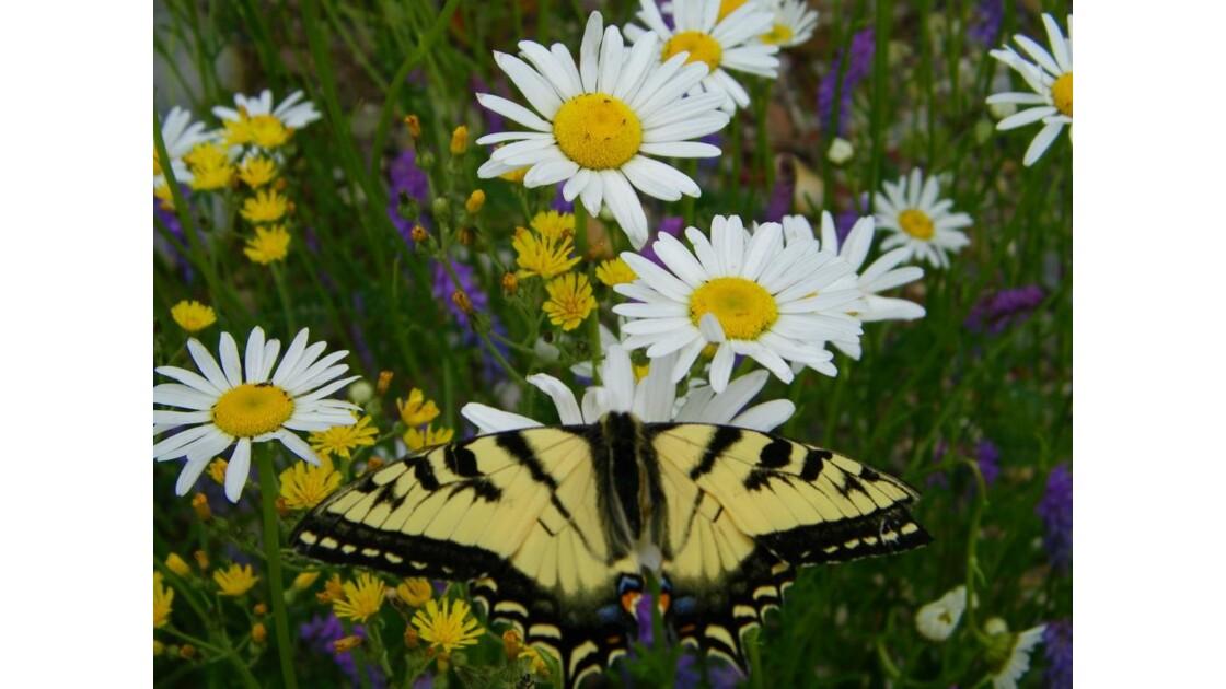 Papillon sur marguerites
