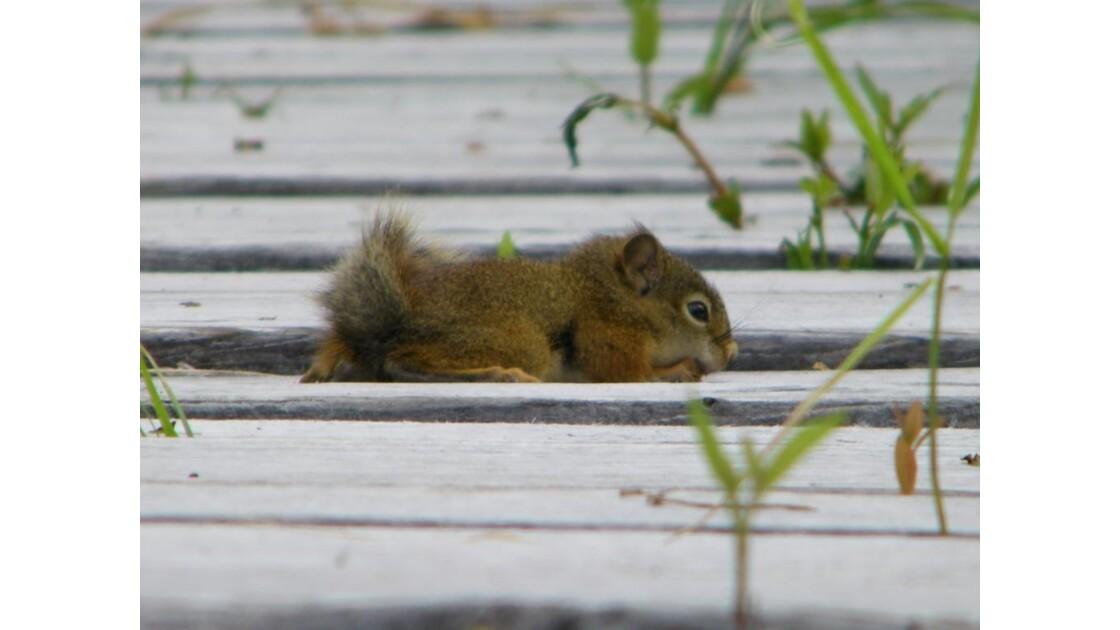Petit écureuil sur passerelle