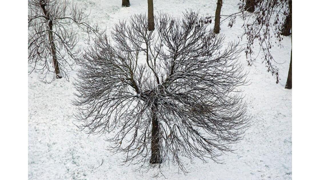 NOISY-LE-GRAND arbre boule de neige