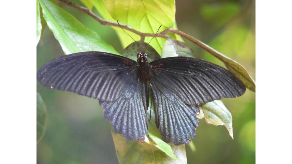 papillon _cambodgien