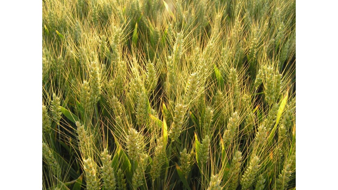 blé au soleil du soir