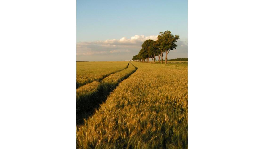 champ de blé au soleil du soir