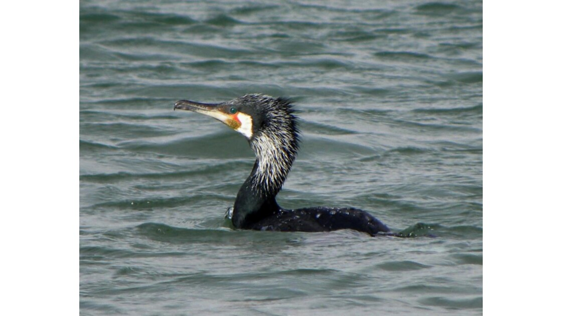 Grand cormoran grisonnant _Janv_10_4.jp