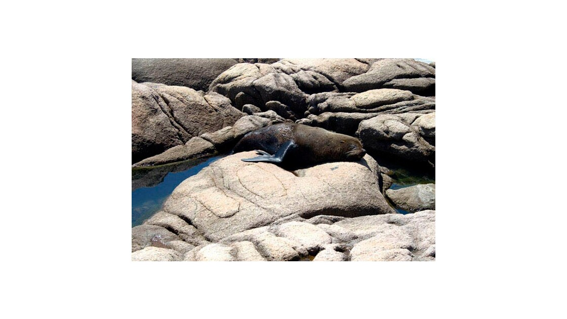 Sealion - Cabo Polonio
