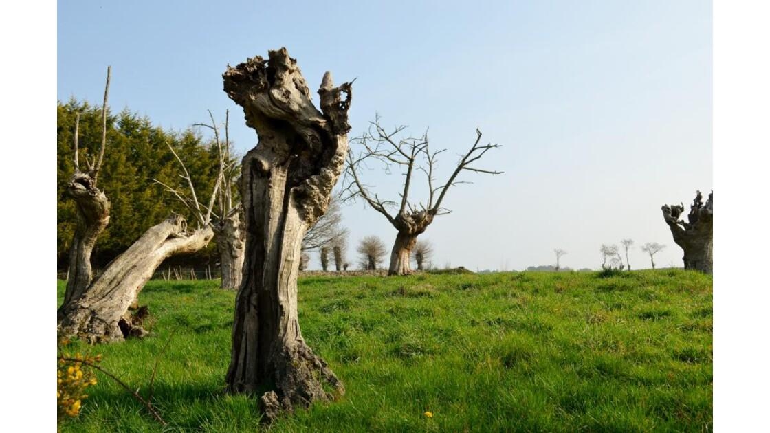 Sculptures naturelles de châtaigniers