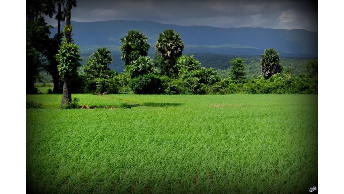 Rizieres Du Cambodge