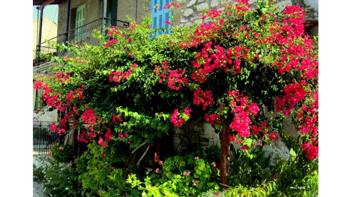 096-Un buisson fleuri...JPG