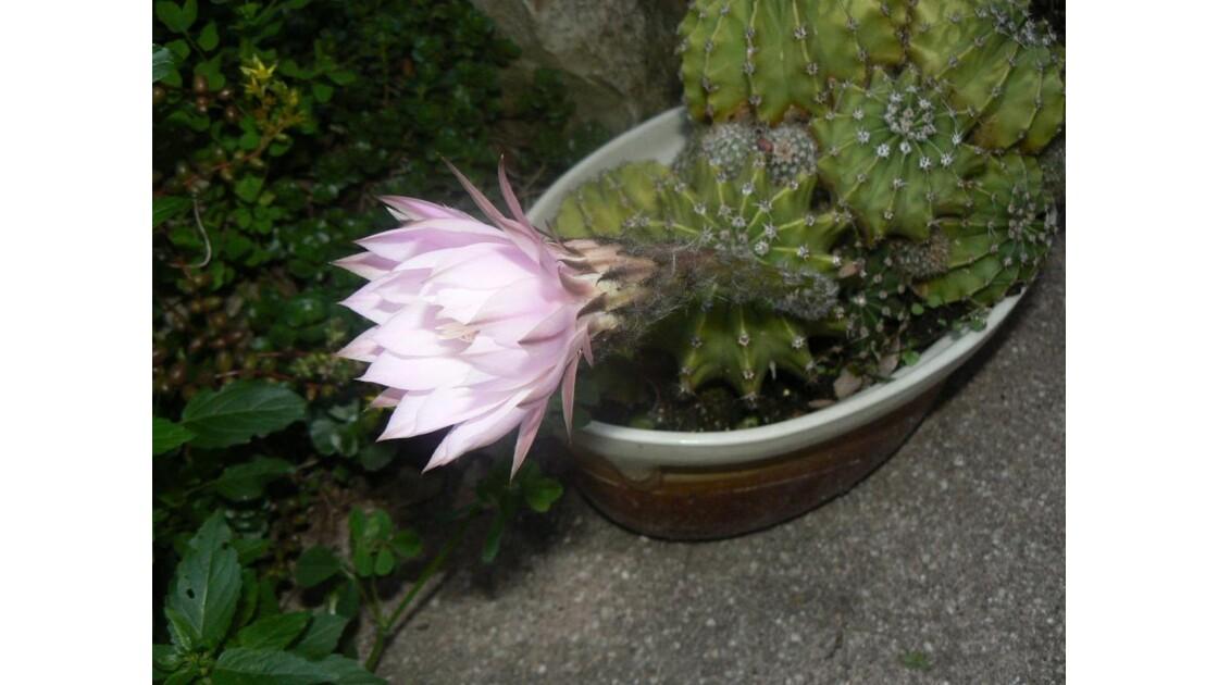 fleur de cactées