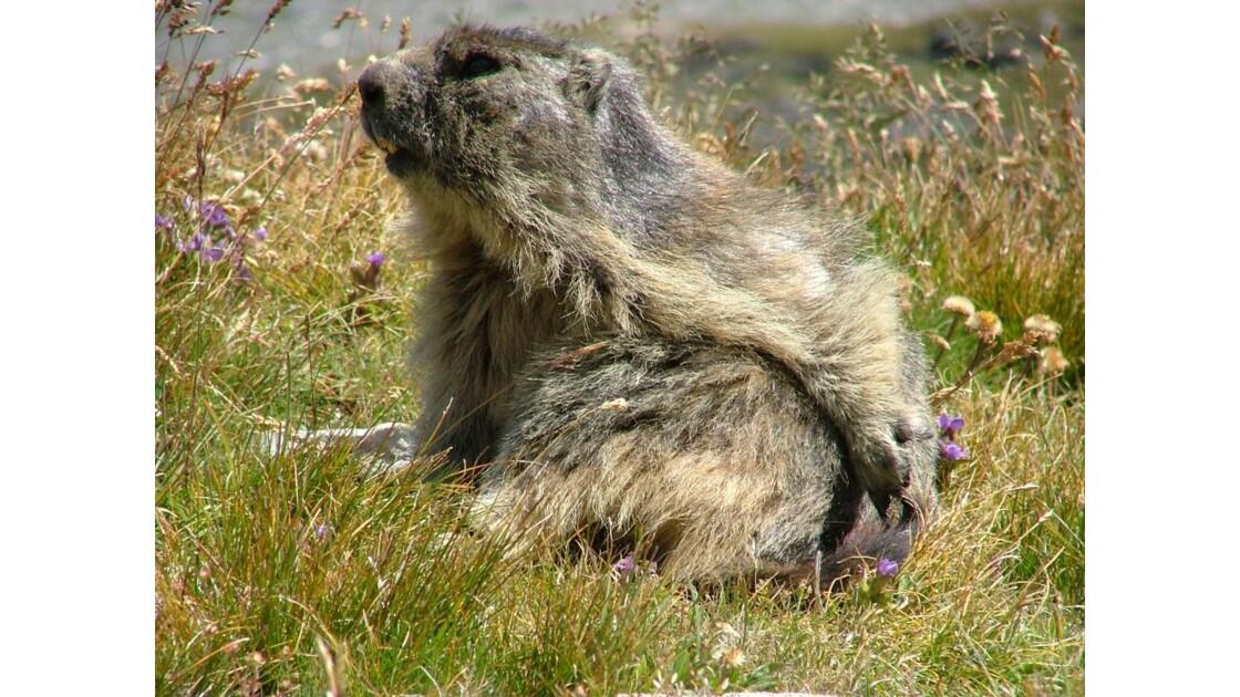 Marmotte au col de la Vanoise 2515m