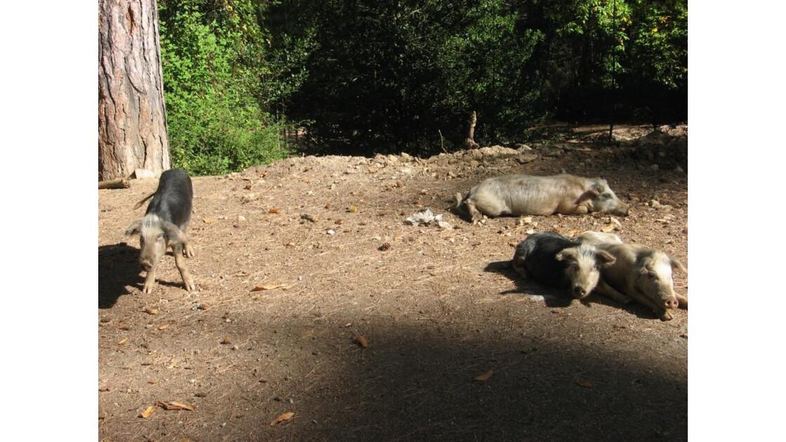 cochons sauvages! en bord de route
