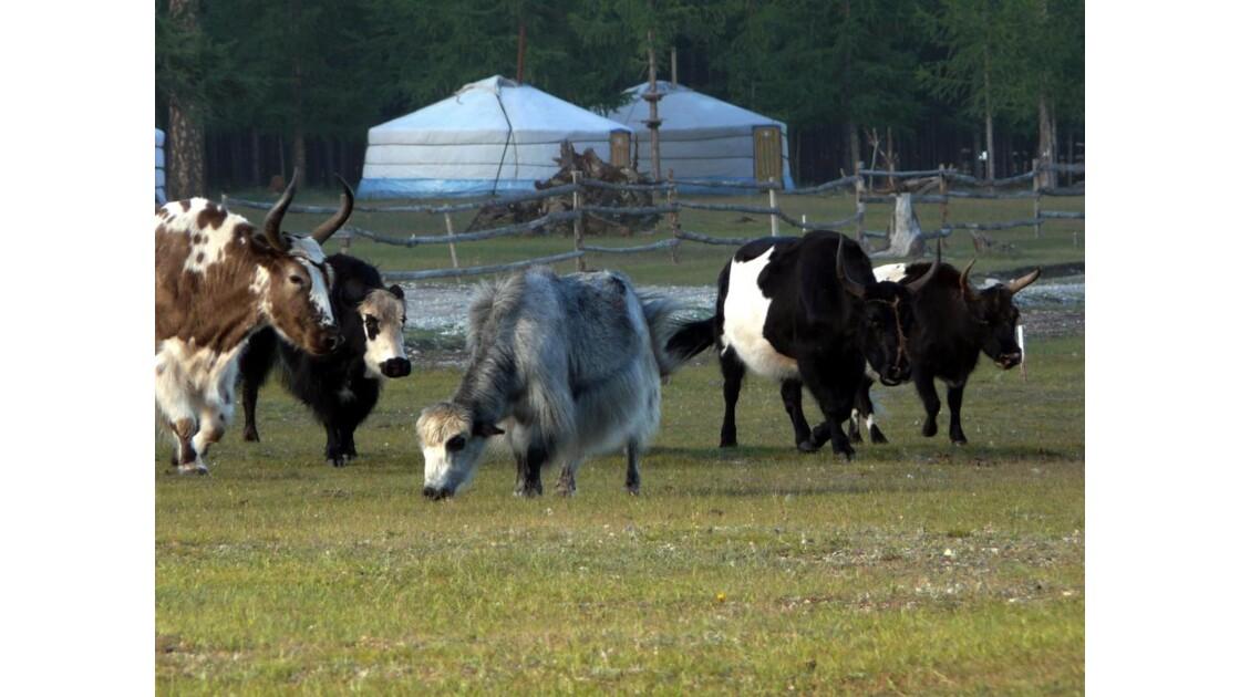 Yacks dans le grand nord