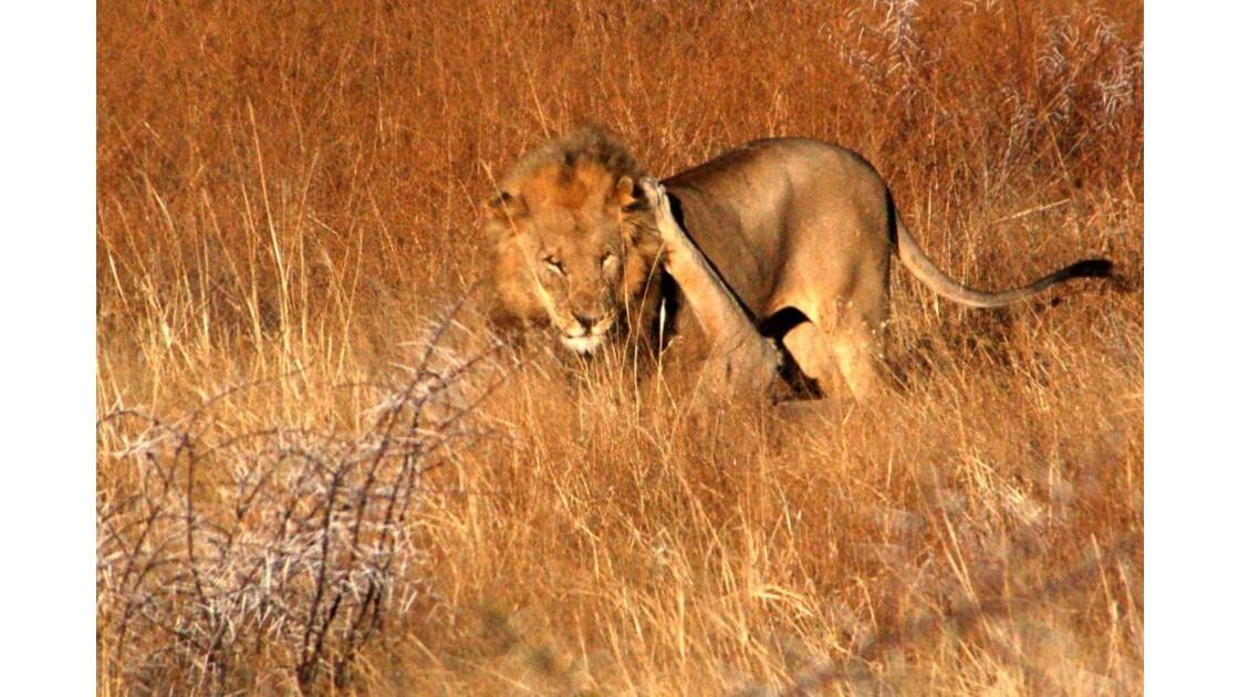 Deux lions, frères, jouant.