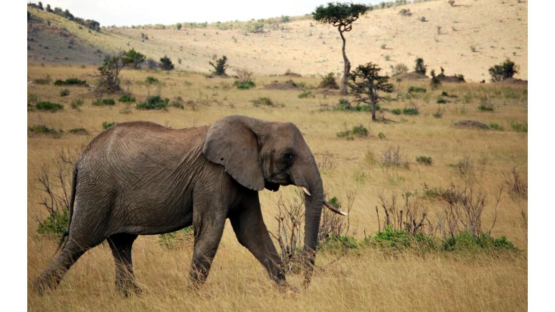 Eléphant dans le Massaï Mara
