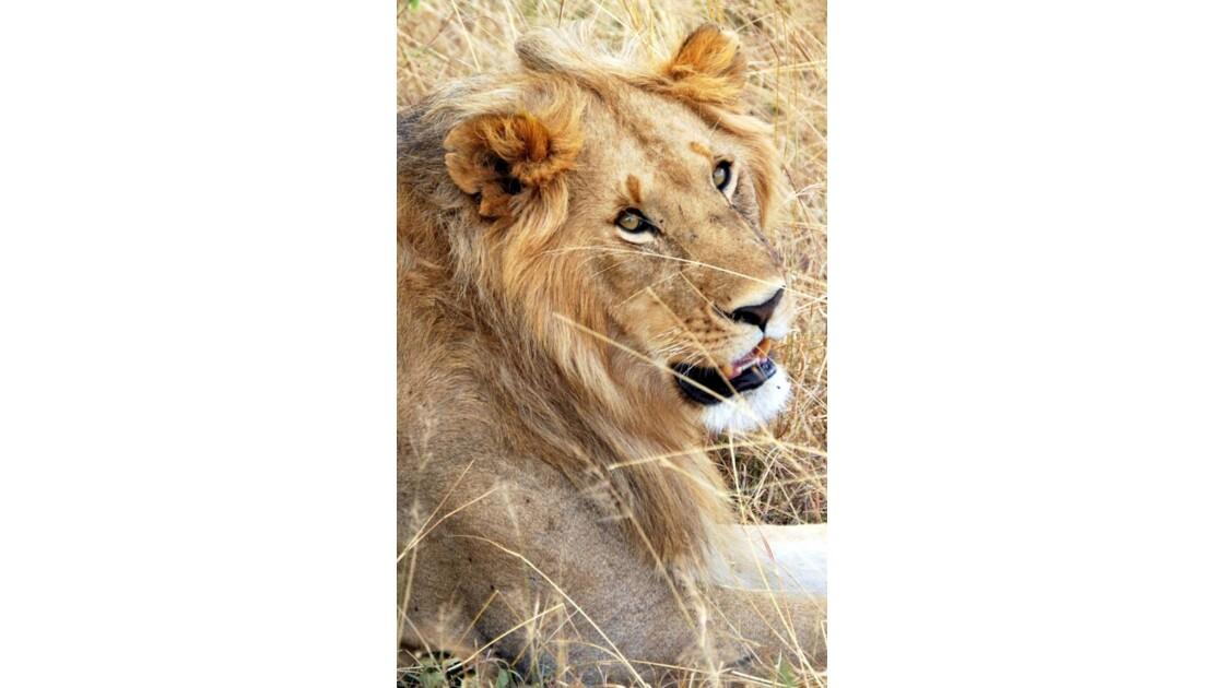 Lion dans le Massaï Mara