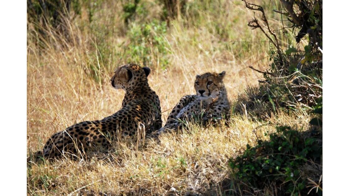 Guépards dans le Massaï Mara