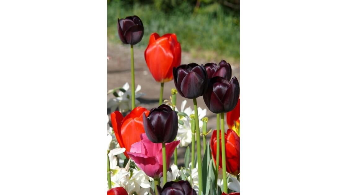 tulipes noires et autres