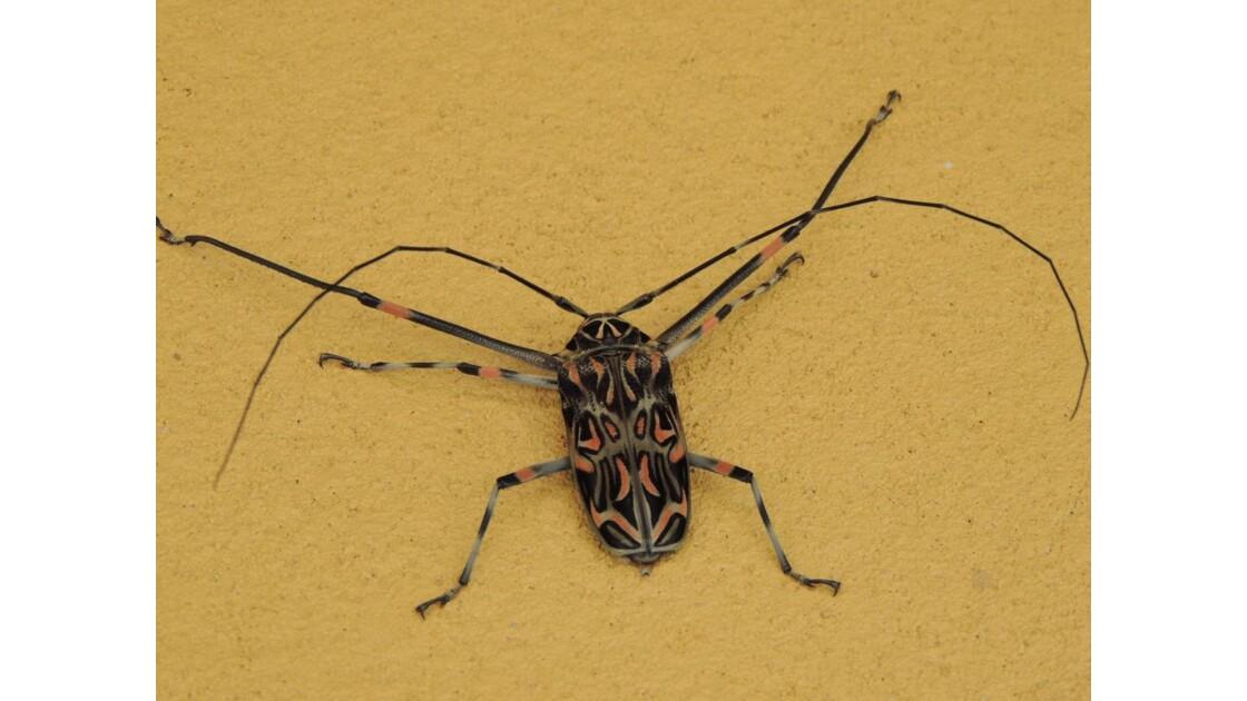 acrocinus_longimanus