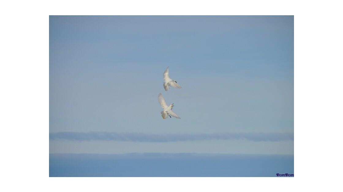 Ballet aérien - Petrel des neiges