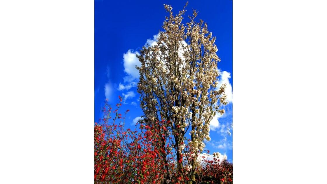 Cerisier à fleurs  japonais