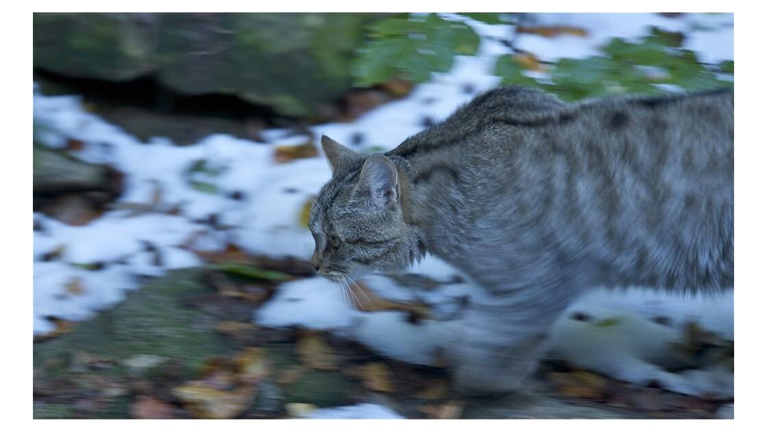 Le chat des forêts (Bavières)