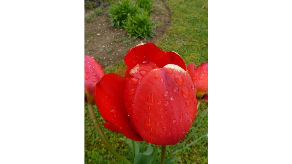 Tulipe,avec quelques gouttes de rosée