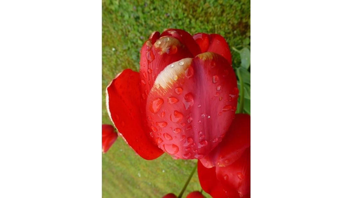 Perles de rosée qui coulent