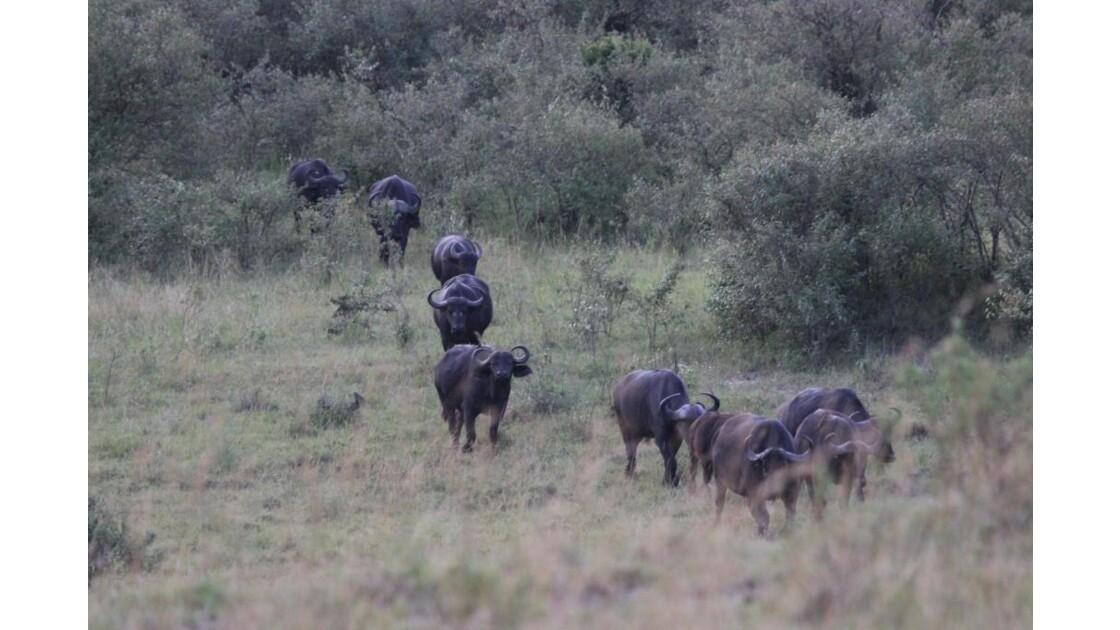 Troupeaux de Buffles d'Afrique