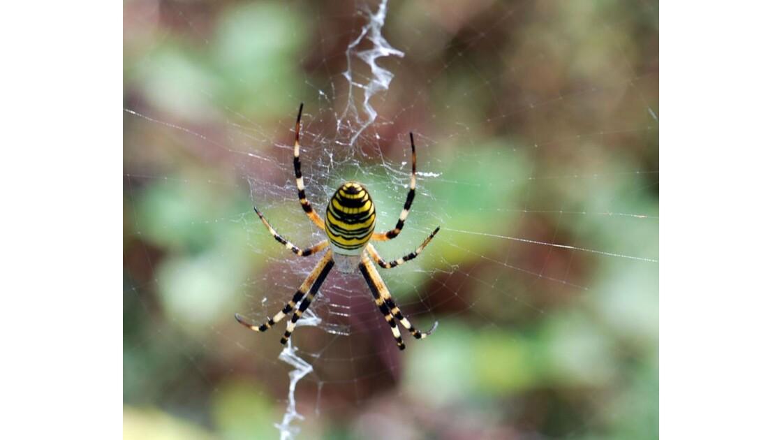 Araignée (6) - Argiope frelon -1 200