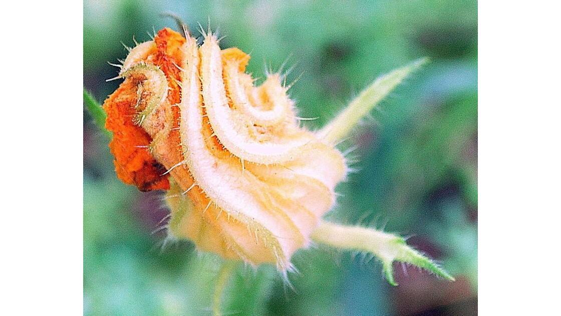 Fleur de Courgette !