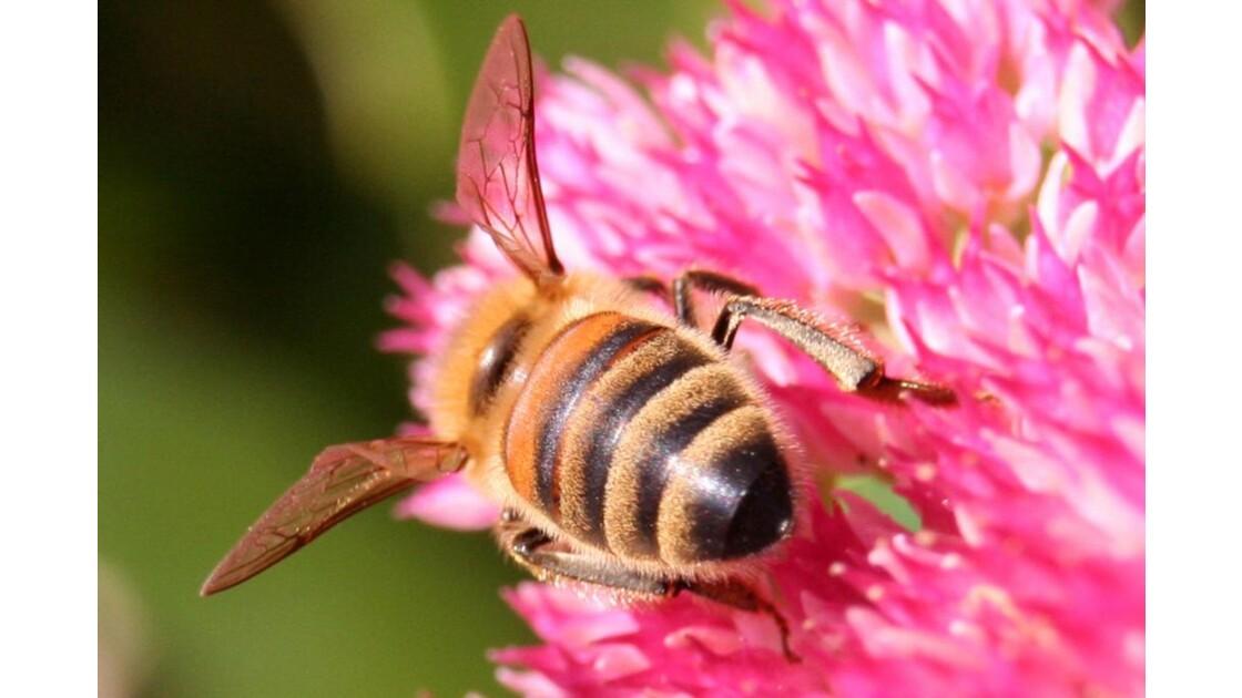 Insecte butineur